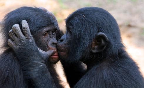 Bonobos Monkey Love Britta Love Bonobos